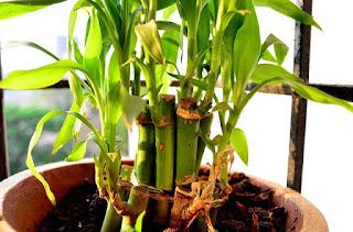 Bambu Pesona Taman Tropis