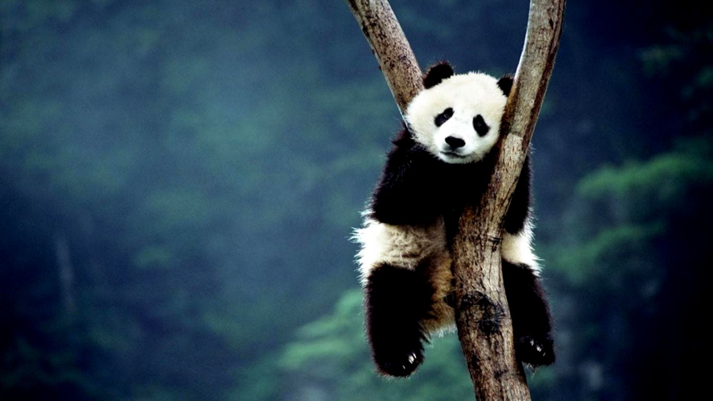 Panda Latest Hd Wallpapers Free Download