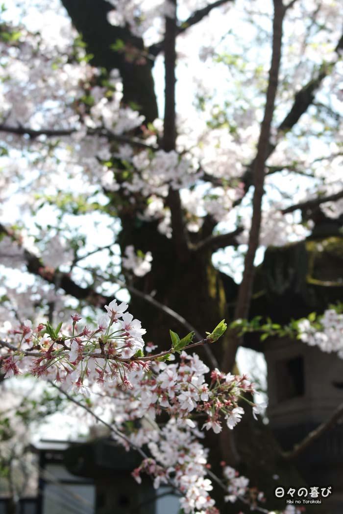 focus fleurs sakura hanami