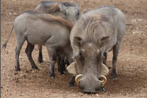 Warthogs At A Waterhole In Greater Kruger Park.