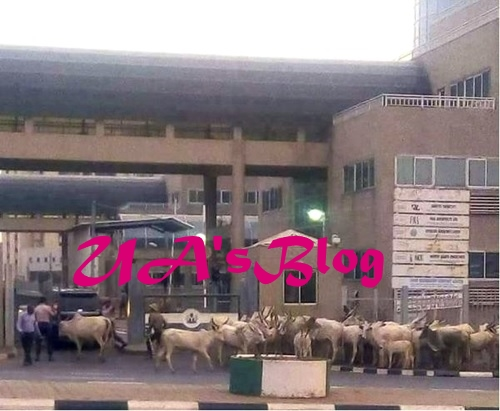 Shocking! Cows Spotted Blocking The Entrance Gate Of Ministry Of Finance, Abuja (Photo)