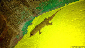 Northern House Gecko