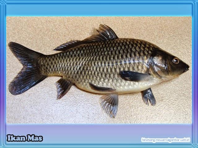 Unduh 7800 Gambar Ikan Gabus Lucu HD Terbaik
