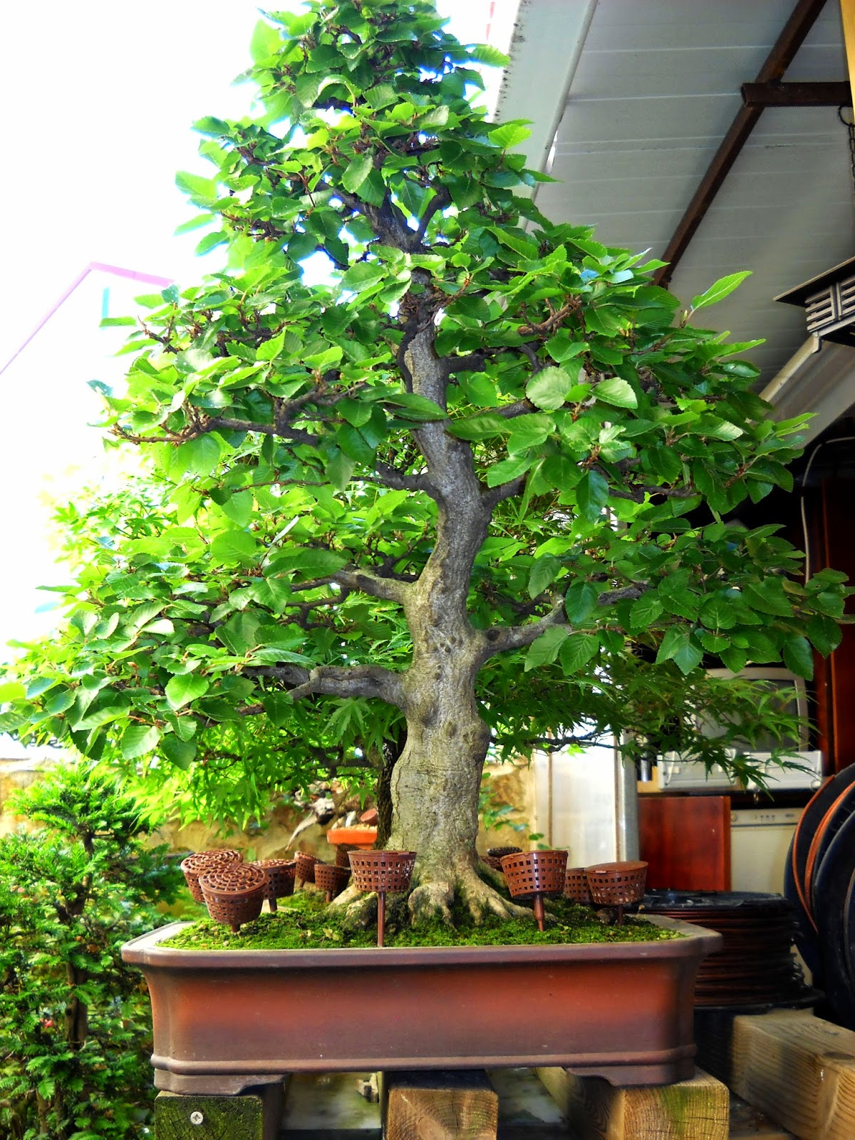 Chi n bonsai visitando a pepe leira for Bonsai pepe