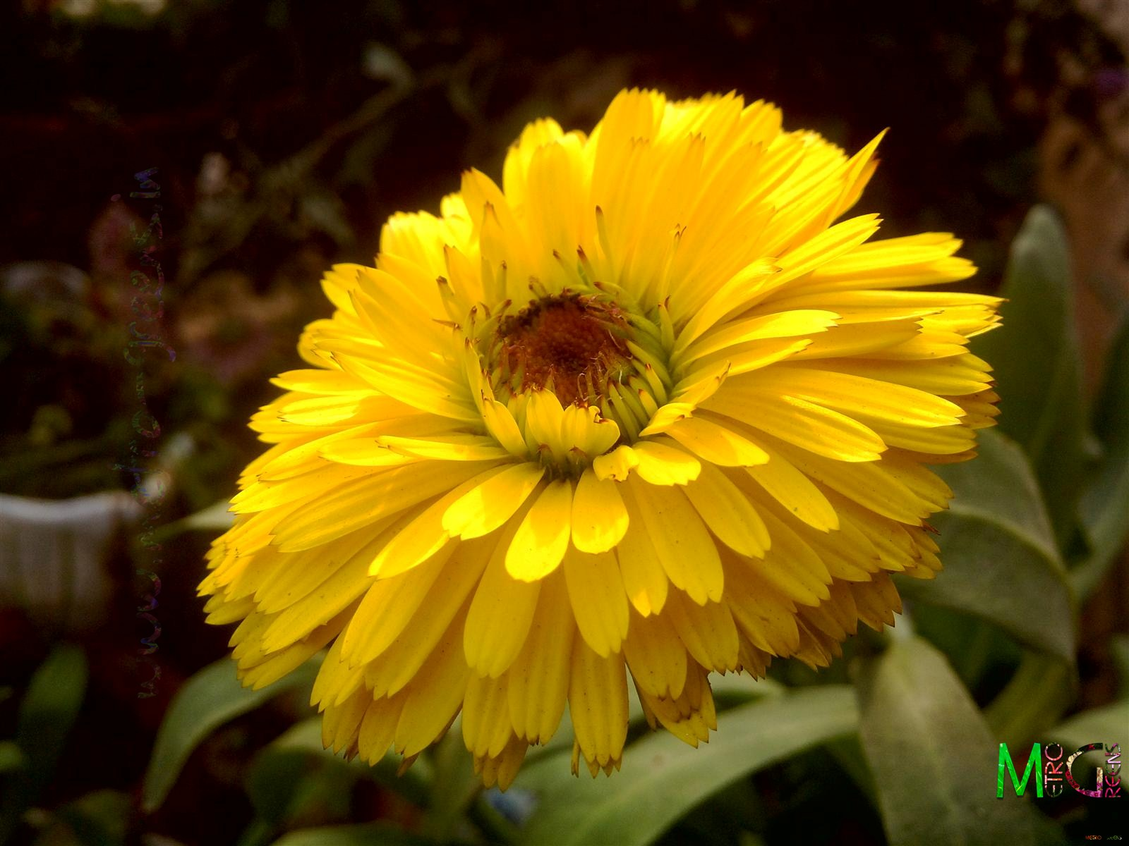 Metro Greens: Yellow Calendula