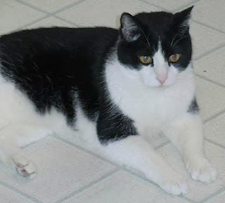 Diabetic Cats in Need Found Sebastian a Furever Home