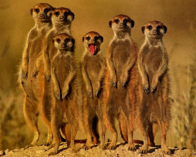 Meerkats life of pi - photo#38