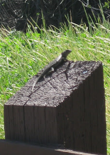 Lizard on a fence post along Ygnacio Canal Trail, Walnut Creek, California