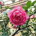 Cây hoa hồng cổ Sapa