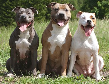 American Pitbull Dog Facts And New Photos | All Wildlife ...