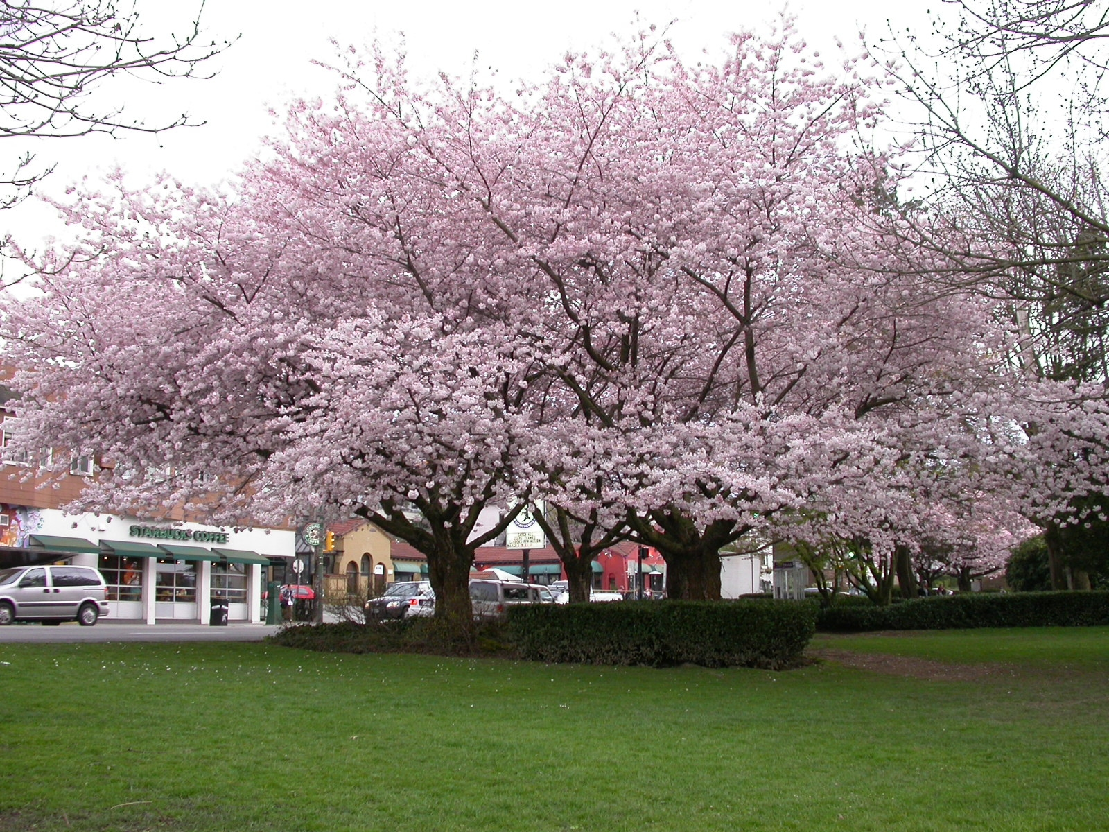 Learning English with Michelle: Vancouver's Cherry Blossom ...