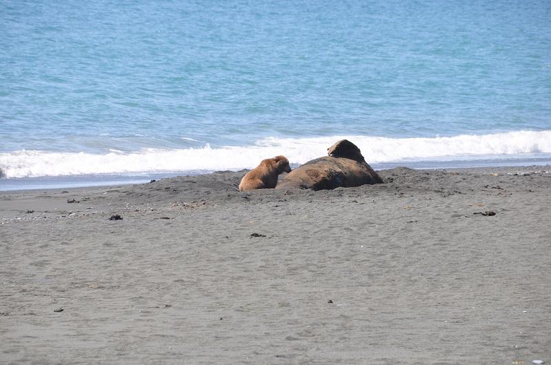 медведь ест кита камчатка