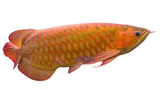 Jenis-Jenis Ikan Arwana