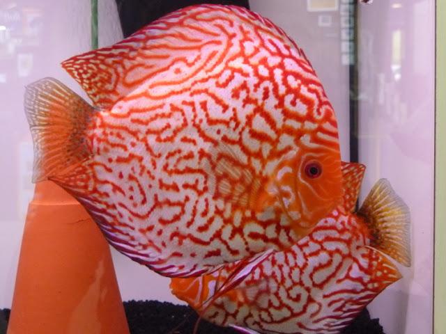 Dunia Ikan Hias - DISCUS RED RIBBON