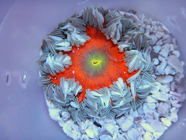 red beaded anemone