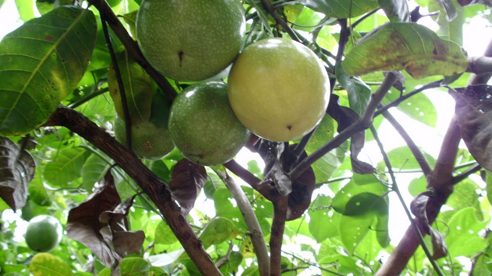 Maracujá (Passiflora edulis)