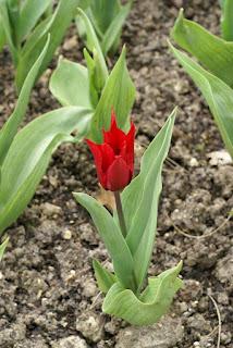 Tulipes Fleur de lis - Tulipa Lily chic - Tulipe Lily chic
