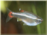 White Cloud Fish Pictures