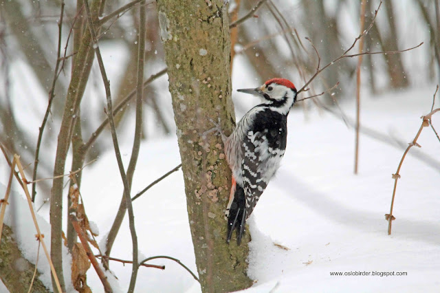 Finally in the (Norwegian) bag – White-backed Pecker