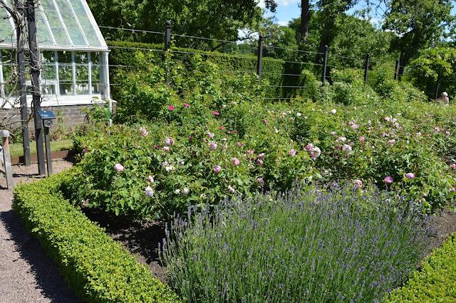 Lavendel, roser og buksbomhekk på Sofiero