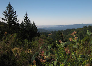 View of towering trees and low coastal fog at the top of Black Road, Los Gatos, California