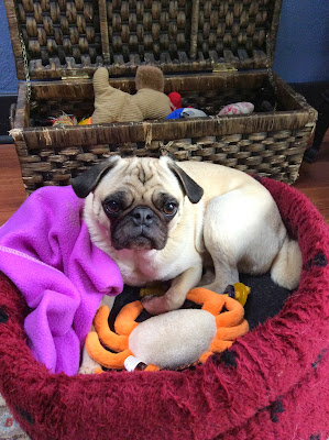 Liam the pug with his basket of toys