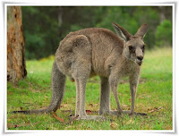Kangaroo Animal Pictures