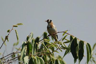 Jilguero (Carduelis carduelis)