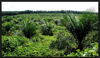 cara menanam kelapa sawit