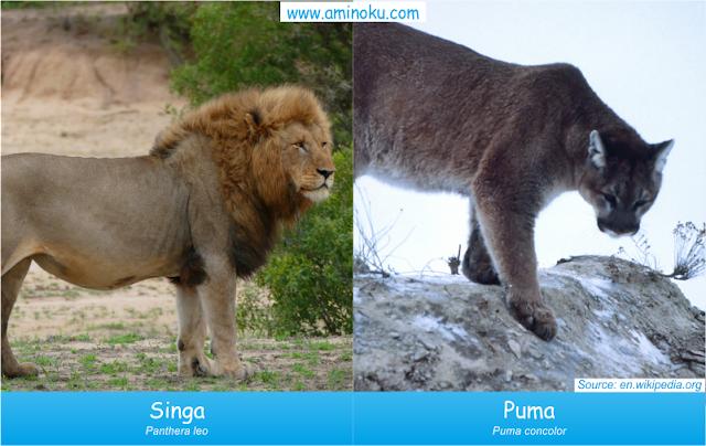 Perbedaan singa dan puma