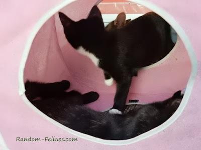 foster kittens, tuxedo kitten