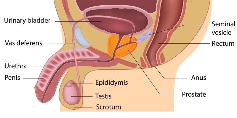 Struktur Alat Reproduksi Pria Dan Wanita
