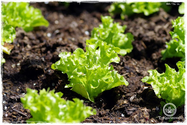 Gartenblog Topfgartenwelt Mein Frühlingsgarten: Pflücksalat