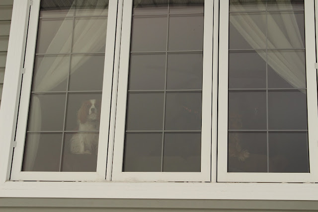Cavalier King Charles Spaniel looking out window
