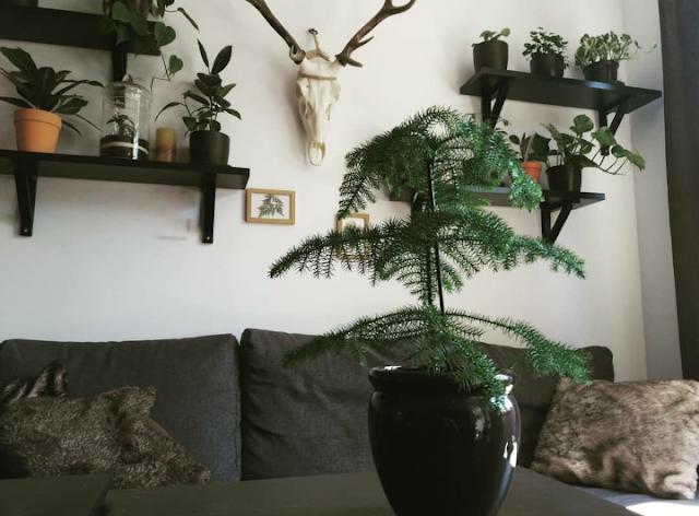 araukariawyniosla