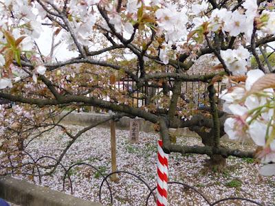 大阪造幣局 桜の通り抜け 御室有明(おむろありあけ)