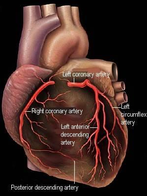 My Nurses Notes: Coronary Arteries