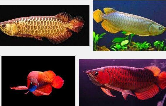 Ini Dia Tips Termudah Membedakan Ikan Arwana Jantan Dengan Betina