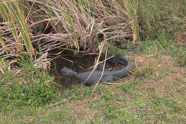 mamma alligatore coi piccoli