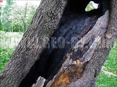 Роща Чапского. БГУ. Искалеченный вандалами дуб. Выженное дупло