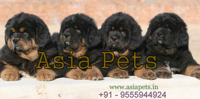 Asia Pets- Online Pet Shop: Tibetan Mastiff Puppy for sale in delhi