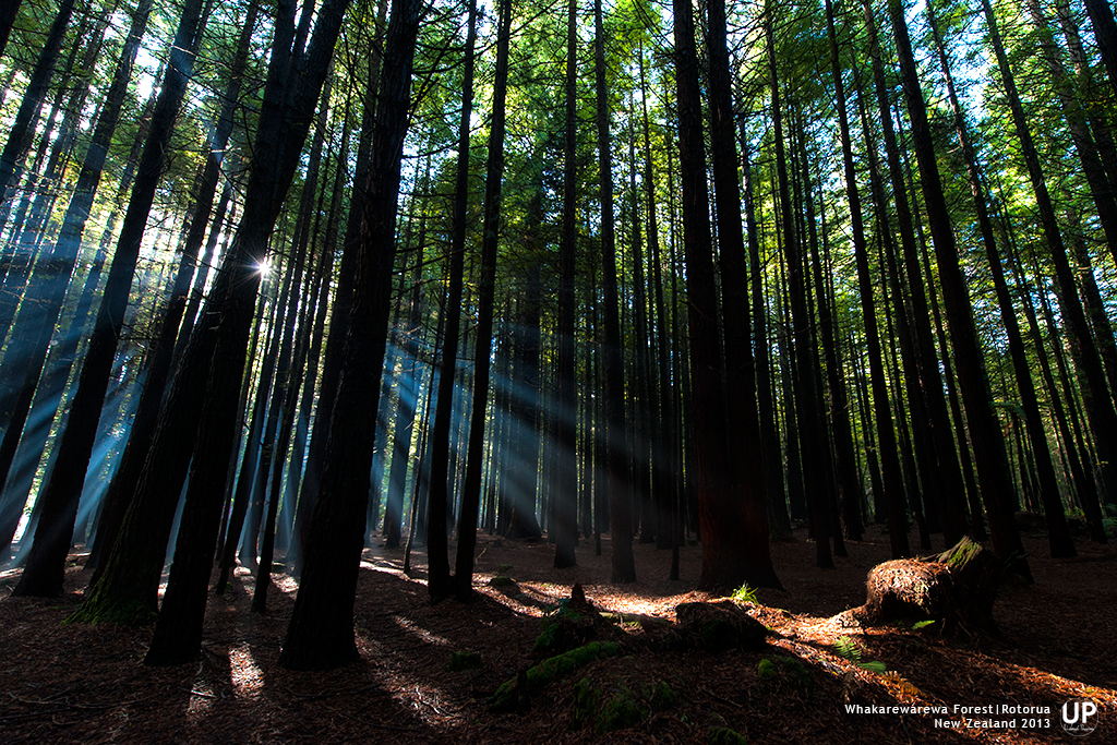 A misty morning at Whakarewarewa, Redwoods forest at Rotorua, which growth with tall Californian Coast Redwoods, sun rays shinning threw dense leaves  and formed a sunstar on photo