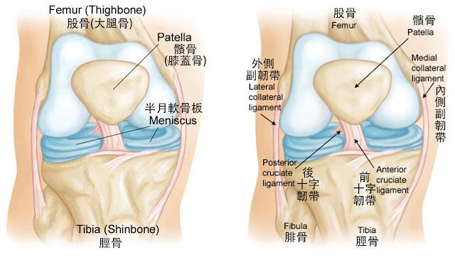 膝蓋 半月軟骨板 前十字韌帶 後十字韌帶 內側副韌帶 外側副韌帶