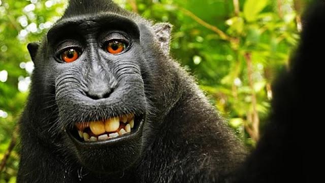 Pengadilan Banding AS Tolak Hak Cipta Naruto, Si Monyet Selfie dari Indonesia