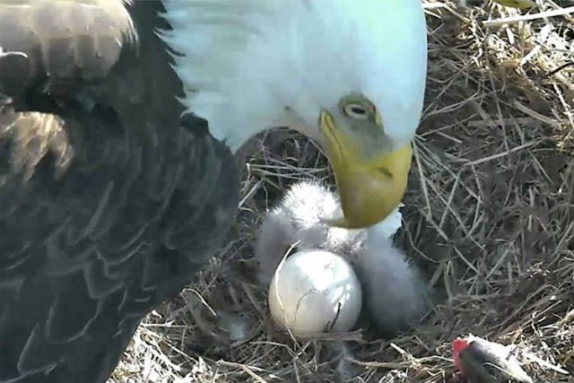 An eagle hatched live and creates the sensation