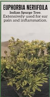 Euphorbia Neriifoila