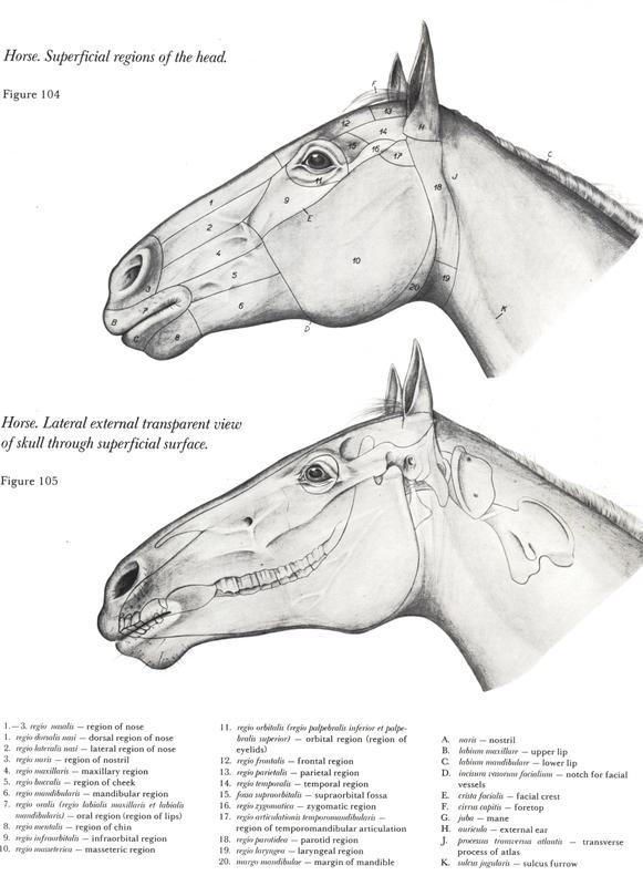 anatomia-equinos-cabeça-pescoço-neck-anatomy-horse-equine-cabalos-cabalo-veterinaria-pdf-download-libros-book-free-descargar-gratuito
