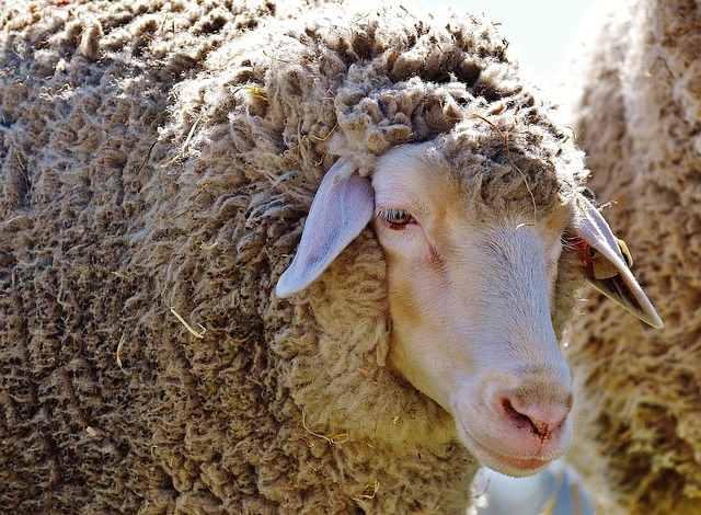 pixabay.com, sheep, wool