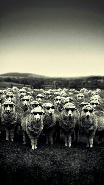 pecore, occhiali da sole,