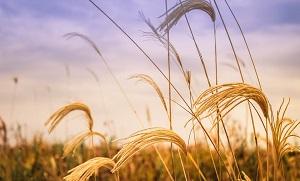 campi di grano